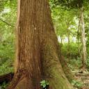 Policía indaga a estructuras criminales que talan árboles