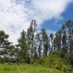 Plantación Pino Macho